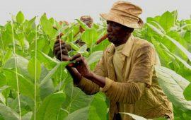 Điều kiện khí hậu – một trong những nguyên nhân khiến xì gà Cuba đắt đỏ